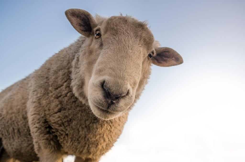 Ugg Boots And Sheep: What You Need To Know